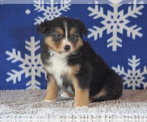 Australian Shepherd Dog for Adoption in FREDERICKSBG, Ohio USA