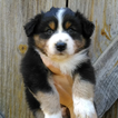 Australian Shepherd Puppy For Sale in GEORGETOWN, Tennessee,