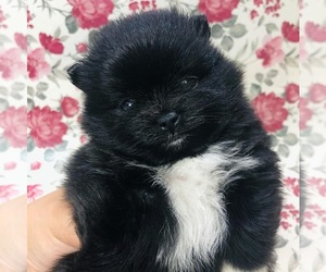 Pomeranian Puppy for Sale in BAKERSFIELD, California USA