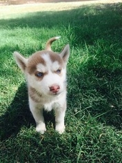 Siberian Husky Puppy For Sale in PLACENTIA, CA