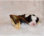 Small #2 Boston Terrier-Cavalier King Charles Spaniel Mix