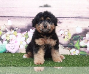 Aussie-Poo Puppy for sale in MARIETTA, GA, USA