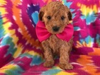 Poodle (Toy) Puppy For Sale in EPHRATA, PA, USA