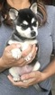 Alaskan Klee Kai Puppy For Sale in TURLOCK, CA, USA
