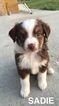 Miniature Australian Shepherd Puppy For Sale in LAMAR, Colorado,