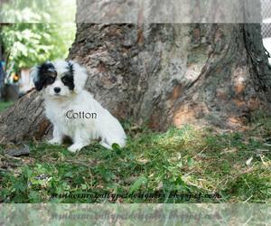 Cavaton Puppy for sale in LEBANON, TN, USA