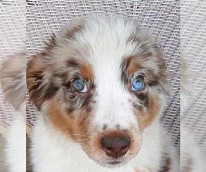 Miniature Australian Shepherd Puppy for sale in WESTLAND, MI, USA