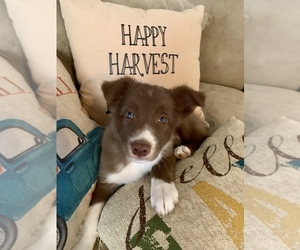 Border Collie Puppy for sale in JACKSON, KY, USA