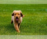 Small Photo #3 Golden Retriever Puppy For Sale in PACE, FL, USA