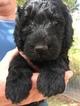 Puppy 1 Labradoodle