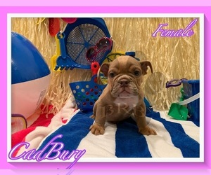 Bulldog Puppy for Sale in HEMET, California USA