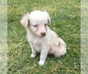 Australian Shepherd Puppy for sale in HAVEN, KS, USA
