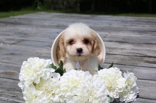 Cavachon Puppy for sale in GLASGOW, KY, USA