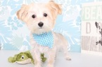 Mikey Male Morkie  Puppy