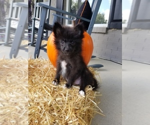 Pomeranian Puppy for sale in FRANKLIN, IN, USA