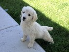 Goldendoodle Puppy For Sale in BRIGHTON, CO,