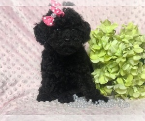 Poodle (Toy) Puppy for sale in CEDAR LANE, PA, USA