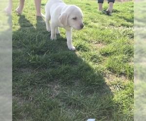 Labrador Retriever Puppy for Sale in DUNNEGAN, Missouri USA