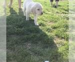 Labrador Retriever Puppy For Sale in DUNNEGAN, MO, USA