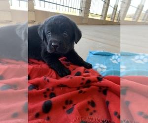 Golden Labrador Puppy for Sale in DEL ROSA, California USA