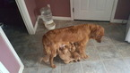 Golden Retriever Puppy For Sale in BRUNSWICK, ME,