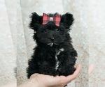 Puppy 8 Morkie