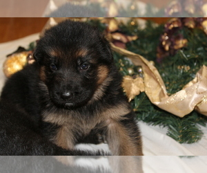 German Shepherd Dog Puppy for Sale in TACOMA, Washington USA