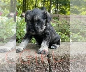 Schnauzer (Miniature) Puppy for Sale in SALISBURY, North Carolina USA