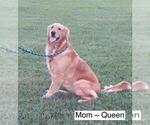 Small Photo #1 Golden Retriever Puppy For Sale in MISSOURI CITY, TX, USA