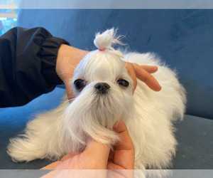 Maltese Puppy for sale in CHINO HILLS, CA, USA