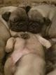 Pug Puppy For Sale in PRESCOTT, AZ,