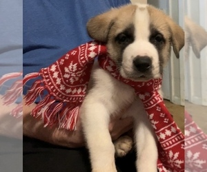 Labrador Retriever-Siberian Husky Mix Puppy for Sale in CHESAPEAK BCH, Maryland USA