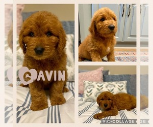 Goldendoodle Puppy for Sale in WICHITA FALLS, Texas USA