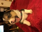 Pembroke Welsh Corgi Puppy For Sale in BEMIDJI, MN