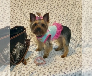 Yorkshire Terrier Puppy for sale in BANNING, CA, USA
