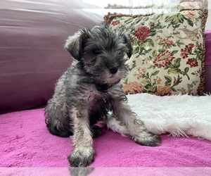 Schnauzer (Miniature) Puppy for Sale in CAMBRIDGE, Massachusetts USA