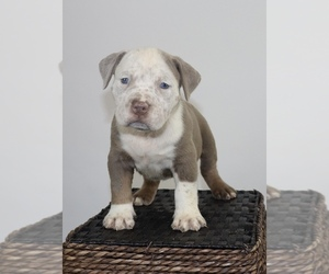 American Bully Puppy for Sale in ORANGEBURG, South Carolina USA