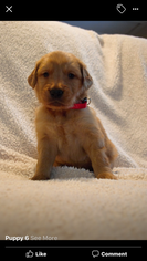 Golden Retriever Puppy For Sale in WHITESBORO, TX, USA