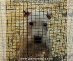 Small Photo #89 Dogo Argentino Puppy For Sale in PINEVILLE, MO, USA