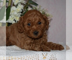 Poodle (Miniature) Puppy for sale in AARONSBURG, PA, USA