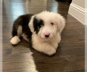 Old English Sheepdog Puppy for sale in FRISCO, TX, USA