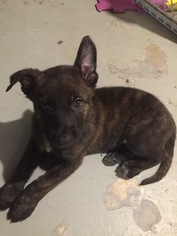 Dutch Shepherd Dog Puppy For Sale in SOUTHFIELD, MI