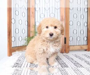 Aussie-Poo Puppy for sale in NAPLES, FL, USA