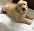 Golden Retriever Puppy For Sale in APPLE CREEK, OH, USA