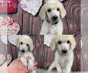 Poodle (Standard) Dog for Adoption in SWANSBORO, North Carolina USA