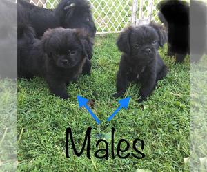 Cheeks Puppy for sale in CORYDON, IA, USA