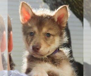 Wolf Hybrid Dog for Adoption in SPRING BRANCH, Texas USA