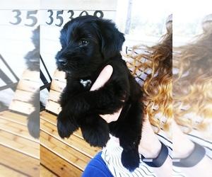 Schnauzer (Miniature)-Schnauzer (Standard) Mix Puppy for Sale in PUYALLUP, Washington USA