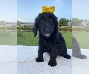 Goldendoodle Puppy for sale in APOPKA, FL, USA