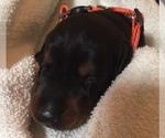 Puppy 4 Doberman Pinscher